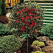 Holly 'Green Alaska' - 1 x 3 litre potted plants