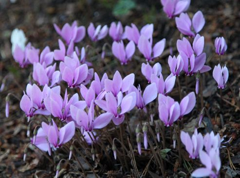 cyclamen bulb (syn. Neapolitanum) (Cyclamen hederifolium)