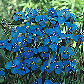 Commelina dianthifolia - 1 packet (25 seeds)