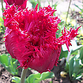 10 x Tulip 'Barbados' (Fringed) Bulbs - Perennial Spring Flowers