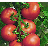 tomato (tomato 'Fandango')