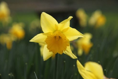 trumpet daffodil bulbs (Narcissus 'Rijnveld's Early Sensation')