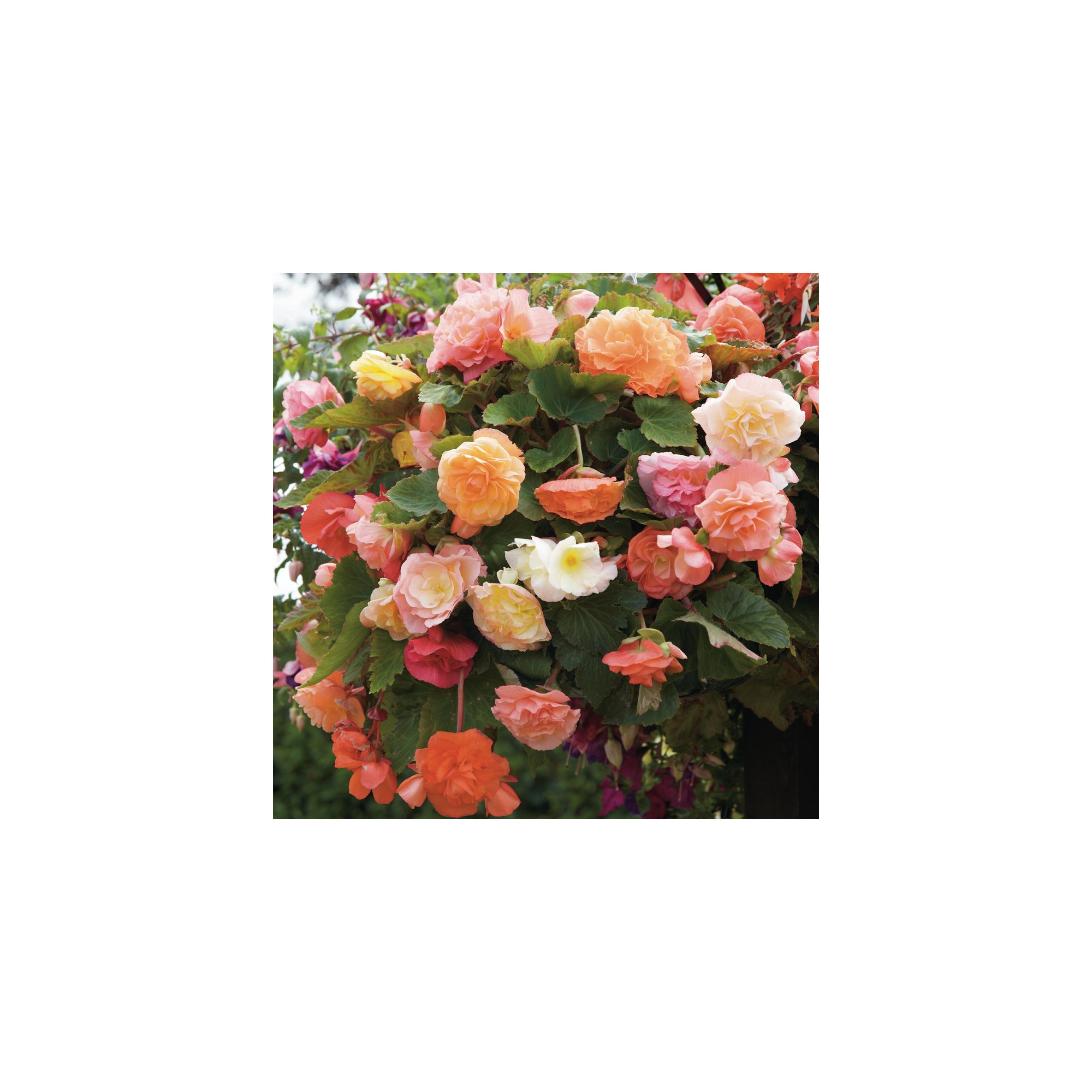 Begonia X Tuberhybrida Fragrant Fountains® Mixed - 5 Tubers