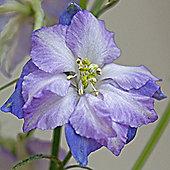 Larkspur 'Fancy Purple Picotee' - 1 packet (150 seeds)