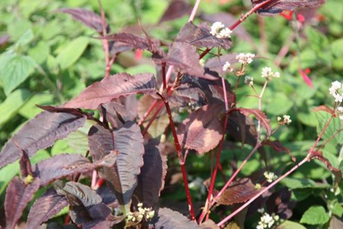bistort (Persicaria microcephala 'Red Dragon' (PBR))