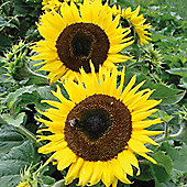 Sunflower 'Choco Sun' - 1 packet (10 seeds)