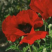 Poppy 'Brilliant' - 1 packet (180 seeds)