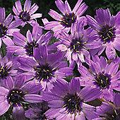 Catananche caerulea - 1 packet (100 seeds)