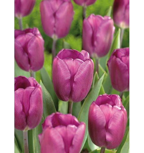 Tulip Purple Flag - 12 Bulbs