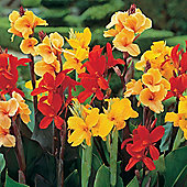 Canna indica 'T&M Hybrids' - 1 packet (15 seeds)