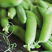Pea 'Boogie' (Maincrop) - 1 packet (250 pea seeds)