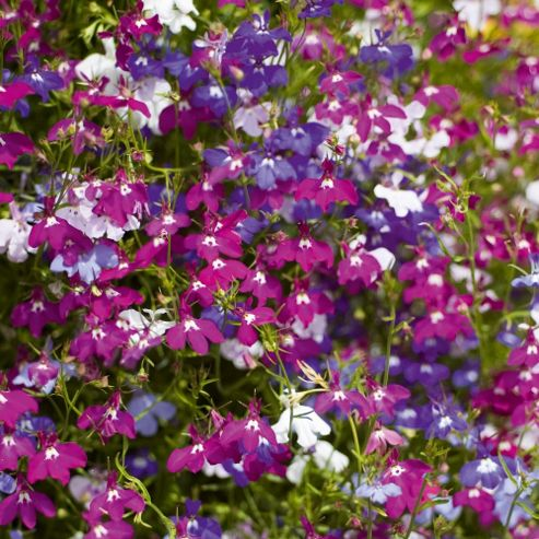 Lobelia erinus 'Ultra Cascade Mixed' - 36 plugs