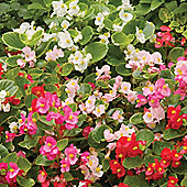 Begonia semperflorens 'Sunshade Mixed' F2 Hybrid - Part of the Alan Titchmarsh Collection - 1 packet (2000 seeds)