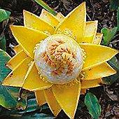 Musa lasiocarpa - 1 packet (4 seeds)