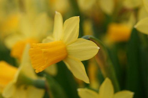 daffodil bulbs (Narcissus 'T?te-?-t?te')