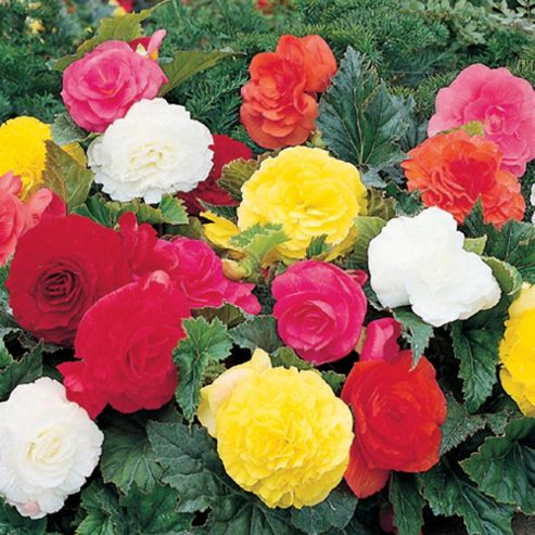 Begonia x tuberhybrida 'Double-flowered Mixed' - 10 tubers
