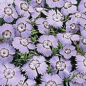 Dianthus amurensis 'Siberian Blues' - 1 packet (25 seeds)