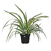 Phormium Cream Delight or New Zealand Flax Perennial 3L Potted