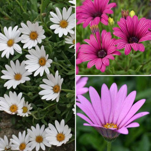 Osteospermum Collection (Hardy) - 9 jumbo plugs - 3 of each variety