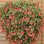 Begonia 'Pink Showers' - 1 packet (20 seeds)