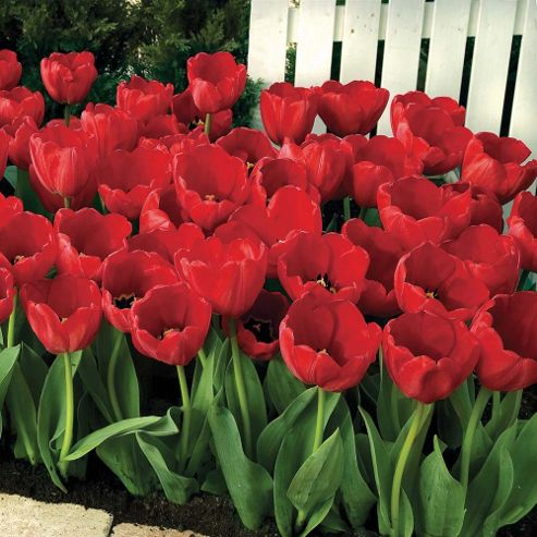 Tulip 'Red Impression' - 40 bulbs