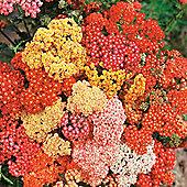 Achillea millefolium 'Summer Berries' F2 Hybrid - 1 packet (40 seeds)