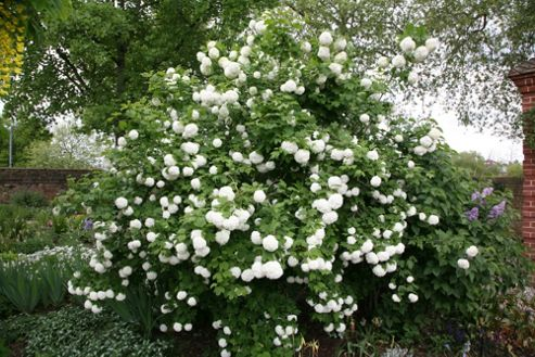 snowball tree ( syn. Sterile ) (Viburnum opulus 'Roseum')