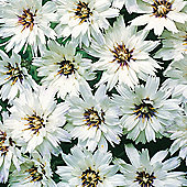 Catananche caerulea 'Bicolor' - 1 packet (75 seeds)