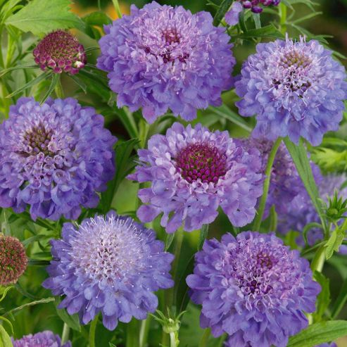 Scabious 'Blue Jeans' - 12 plugs