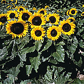 Sunflower 'Little Dorrit' F1 Hybrid - 1 packet (25 seeds)