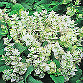 Salvia sclarea var. turkestanica alba - 1 packet (20 seeds)