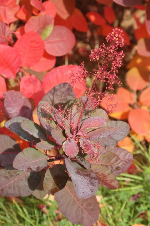 smoke bush (Cotinus 'Grace')