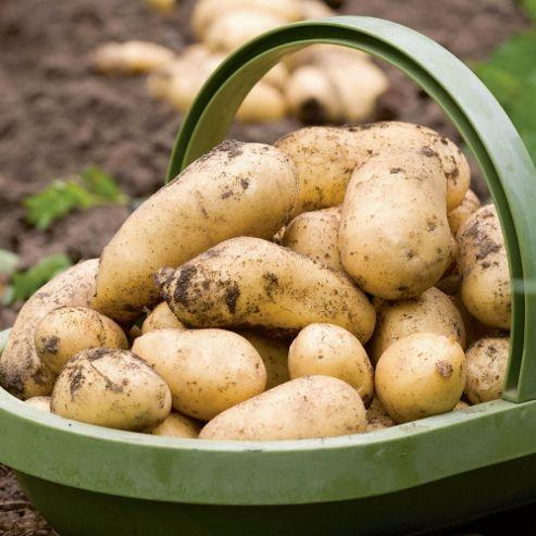Potato 'Charlotte' - 5 tubers