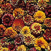 Zinnia haageana 'Aztec Sunset' - 1 packet (200 seeds)