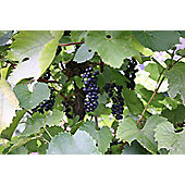 black hamburg grape (grape Black Hamburg ('Schiava Grossa'))