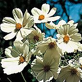 Cosmos bipinnatus 'Purity' - 1 packet (100 seeds)