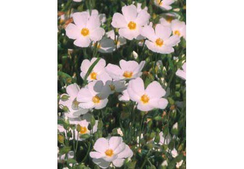 rock rose (Cistus ? hybridus )