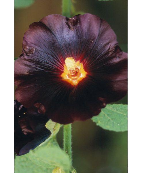 hollyhock (Alcea rosea 'Nigra')