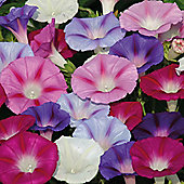 Morning Glory 'Lazy Luxe' - 1 packet (35 seeds)