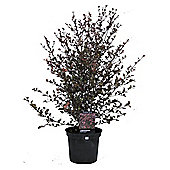 Lophomyrtus x ralphii Red Dragon Shrub 3L Potted