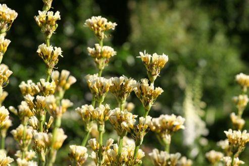 sisyrinchium (Sisyrinchium striatum)