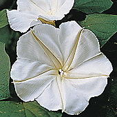 Morning Glory (Moonflower) - 1 packet (15 seeds)