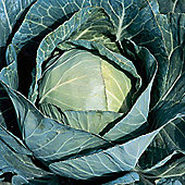Cabbage 'Sir' F1 Hybrid (Summer/Autumn) - 1 packet (30 cabbage seeds)