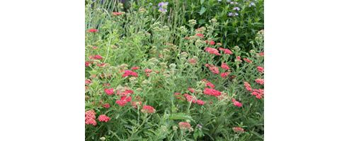 common yarrow (Achillea millefolium 'Red Velvet')