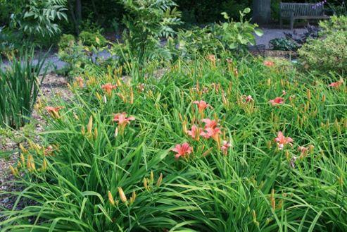 daylily (Hemerocallis 'Pink Damask')