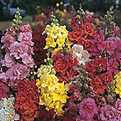 Antirrhinum majus 'Double Madame Butterfly Mixed' F1 Hybrid - 1 packet (60 seeds)