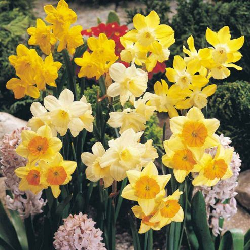 Narcissus 'Miniature Mixed' - 40 bulbs