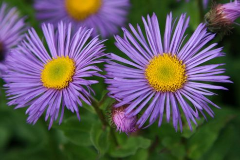 fleabane (Syn Darkest of All) (Erigeron 'Dunkelste Aller')