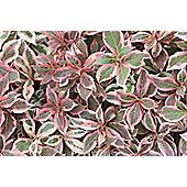 weigelia (Weigela florida Monet ('Verweig') (PBR))