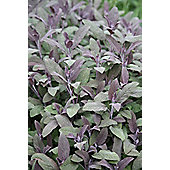 Purple Sage (Salvia officinalis 'Purpurascens')